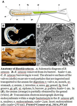 Shipworms research diagram.