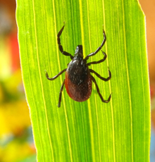 A tick on a leaf.